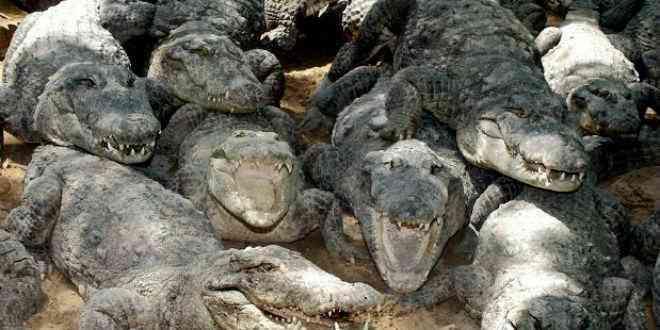 sudafrica cocodrilos