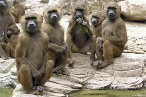 babuinos vandalos