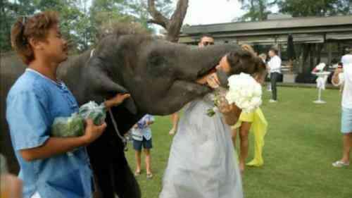 Elefante besa novia