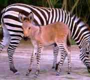 Nace un zonkey, cruza de cebra y burro
